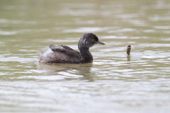 Least Grebe Swimming in a Pond - Texas Royalty Free Stock Photo