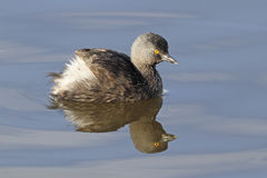 Least grebe - Texas Stock Photos