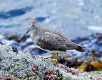 Least Sandpiper. Hunts among the intertidal zones of California's Point Lobos State Park Royalty Free Stock Photography