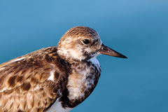 Least Sandpiper Royalty Free Stock Photography