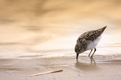 Least sandpiper Stock Images