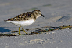 Least Sandpiper on the Beach. Least Sandpiper foraging on the beach stock photos