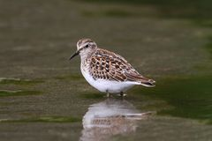 Least Sandpiper (Calidris minutilla) Stock Photography