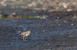 Least Sandpiper  Calidris minutilla Royalty Free Stock Photo