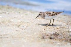 Least Sandpiper (Calidris minutilla) Stock Photos
