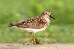 Least Sandpiper (Calidris minutilla) Royalty Free Stock Images
