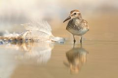Least Sandpiper (Calidris minutilla) Stock Photo