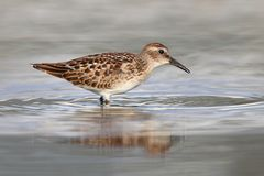 Least Sandpiper (Calidris minutilla) Royalty Free Stock Photo
