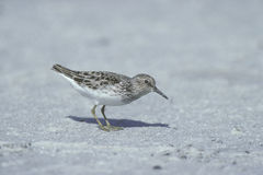 Least sandpiper, Calidris minutilla, Stock Images