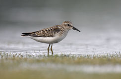 Least sandpiper, Calidris minutilla. Single bird standing in shallow water ,New York, USA, summer Stock Photography