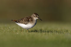 Least sandpiper, Calidris minutilla Royalty Free Stock Photos