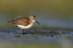 Least sandpiper, Calidris minutilla Stock Photo