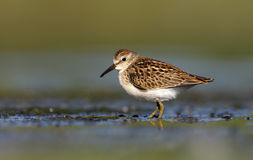 Least sandpiper, Calidris minutilla Stock Photos