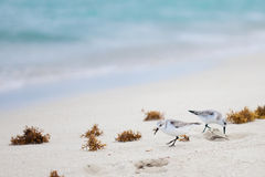 Least Sandpiper Flock on beach Stock Photography