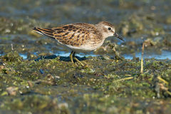Least Sandpiper Stock Photos
