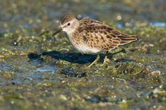Least Sandpiper Stock Image