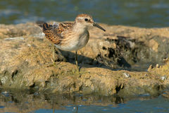 Least Sandpiper. Standing on a muddy island in the marsh Stock Photo