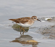 Least Sandpiper. Portrait of a Least Sandpiper.  In late summer this Least sandpiper paused at a Calgary lake while on its southward migration.   Least Stock Photography