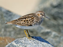 Least Sandpiper on Rock Stock Photo