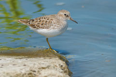 Least Sandpiper Royalty Free Stock Images