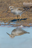Least Sandpiper Stock Photography