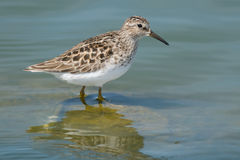 Least Sandpiper Royalty Free Stock Photos
