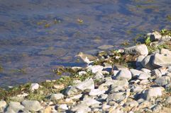 Least Sandpiper Royalty Free Stock Photo