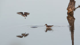 Least Sandpiper at still waters Stock Photo