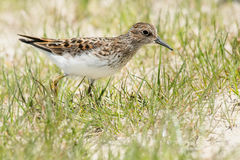 Least Sandpiper. Walking in the beach grass Stock Photography