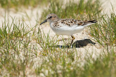 Least Sandpiper. Walking in the beach grass Stock Images