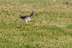 A Least Sandpiper Royalty Free Stock Images