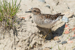 Least Sandpiper. Walking on a sandy hill Royalty Free Stock Photography