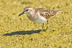 Least Sandpiper Stock Photo