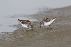 Least Sandpipers Foraging on a Mudflat - Texas Royalty Free Stock Image