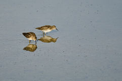 Least Sandpipers Searching for Food in the Shallow Blue Water Stock Image