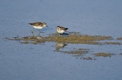 Least Sandpipers Searching for Food in the Shallow Water Royalty Free Stock Photos