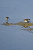 Least Sandpipers Searching for Food in the Shallow Water Stock Image