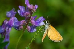Least Skipper Butterfly. Collecting nectar from a Tufted Vetch flower. Todmorden Mills, Toronto, Ontario, Canada Royalty Free Stock Image
