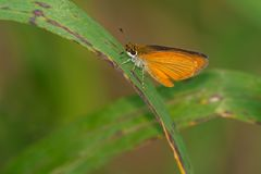 Least Skipper Butterfly. Perched on a green leaf. McKenzie Marsh, Aurora, Ontario, Canada Stock Photography
