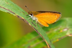 Least Skipper Butterfly Royalty Free Stock Images