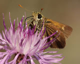 Least Skipper (moth) Pollinating Spotted Knapweed Royalty Free Stock Images
