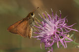 Least Skipper (moth) Pollinating Spotted Knapweed Stock Photos