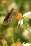 Least Skipper Moth on Wild Flower Stock Photos