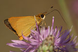 Least Skipper Pollinating a Wildlflower Royalty Free Stock Photography