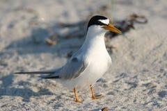 Least Tern on Beach. An adult least tern on a beach on the atlantic ocean Stock Images