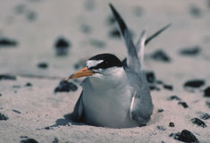 Least tern on Biloxi beach(prior to oil spill) Stock Photo