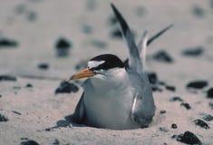 Least tern on Biloxi beach(prior to oil spill). Least tern(sterna antillarum) on nest on beach Stock Photo