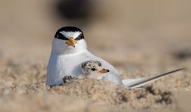 Least Tern with Chick. A least tern in New Jersey Stock Images
