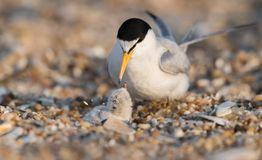 Least Tern with Chick. A least tern in New Jersey Stock Photo
