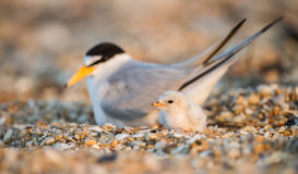 Least Tern. A Least Tern with a chick in New Jersey Royalty Free Stock Photography